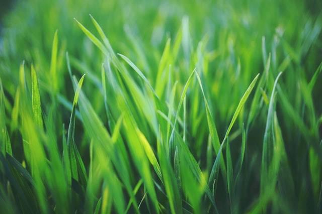 5 najczęstszych błędów popełnianych przy nawożeniu trawnika